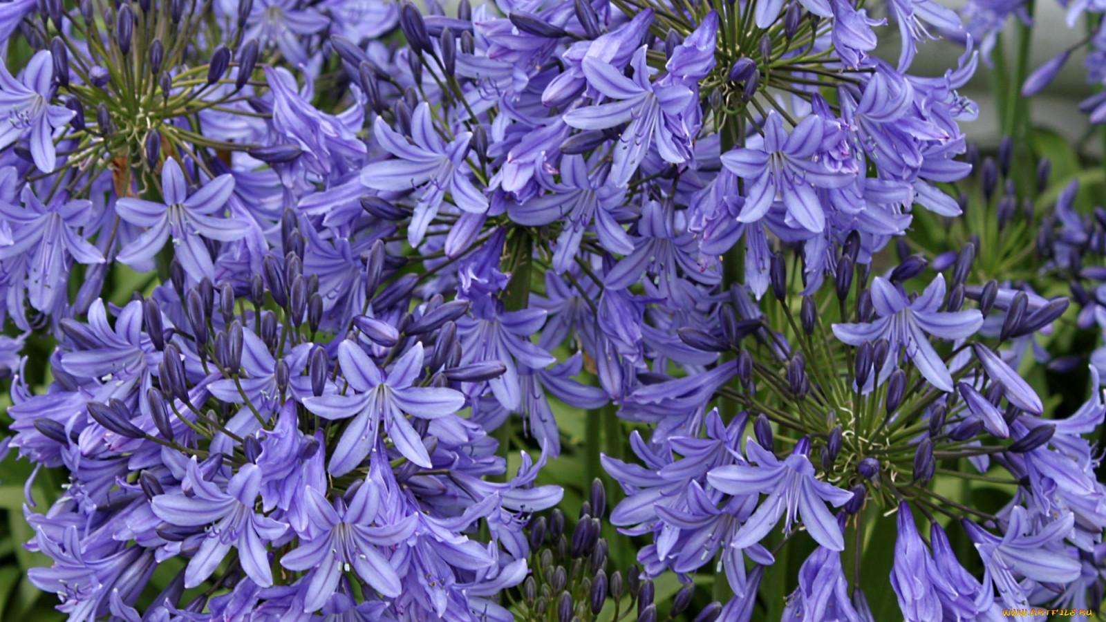 Синяя лилия цветок фото